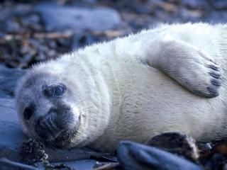 Autumn Grey seal pup