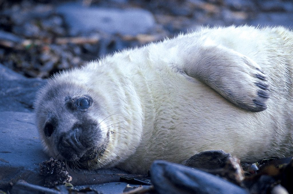 Autumn Grey seal pup