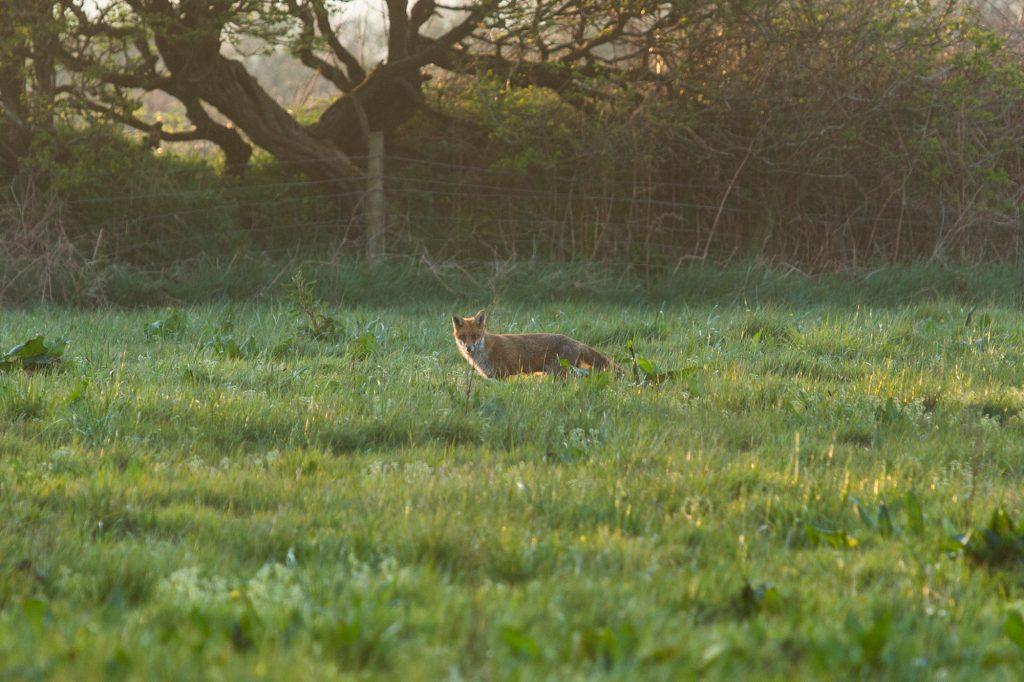 Fox in Yr Hafan field