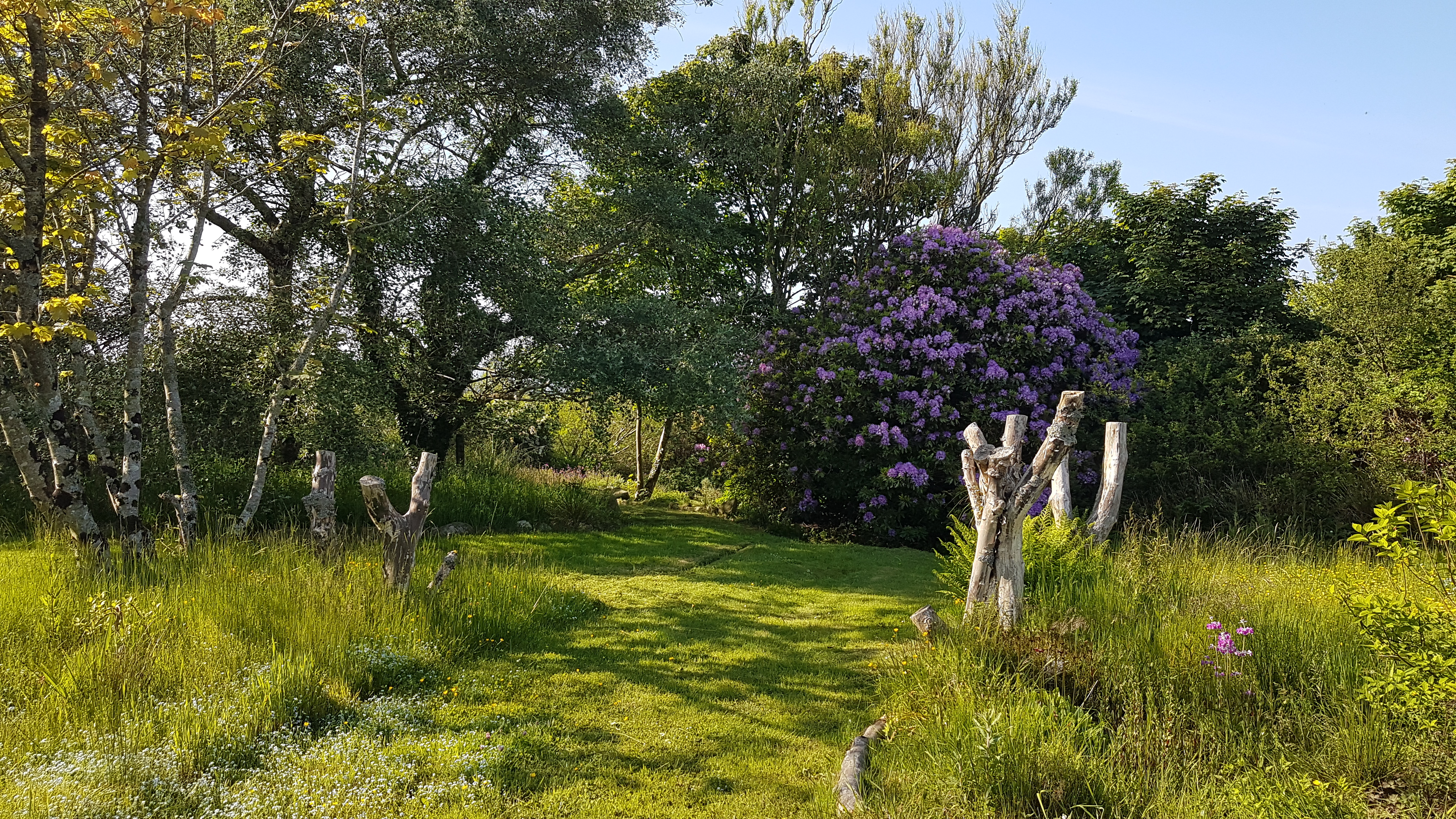 Yr Hafan landscaped garden and beautiful Azela in Spring